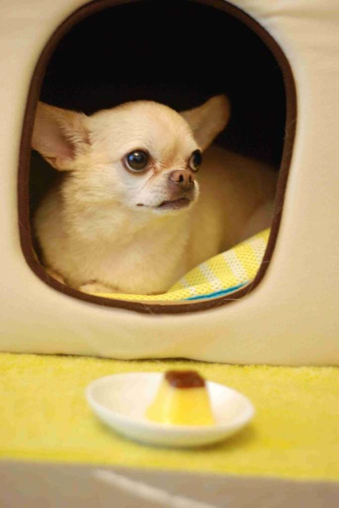 A chihuaha in a small house